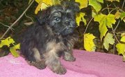 Cute Affenpinscher Puppies For Sale
