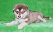 talented Alaskan Malamute Puppies