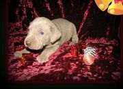 exquisite Weimaraner Puppies For Sale
