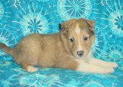 fabulous Shetland Sheepdog Puppies