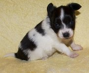 delightful Papillon Puppies