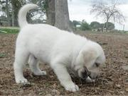 capable  Labrador Retriever Puppies